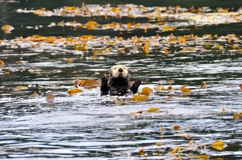 Sea otter waving